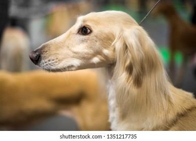 Portrait of Saluki dog with a light cream colored coat, sighthound Persian Greyhound purebred dog