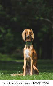 Portrait of a saluki in a park