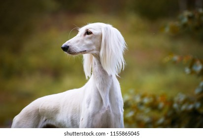 Portrait of Saluki, Persian Greyhound on autumn background, bright colors of autumn, forest and trees in the background