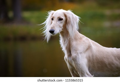 Portrait of Saluki, Persian Greyhound on autumn background, bright colors of autumn, forest, trees, lake in the background