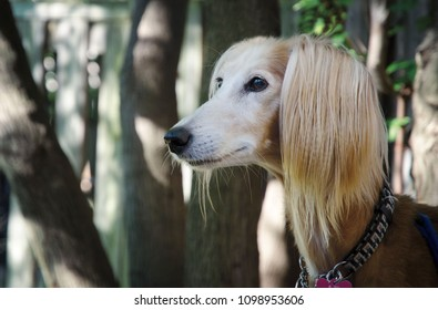 Portrait of a Saluki with silky long ears