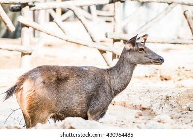 Portrait of Samba Deer, Thailand
