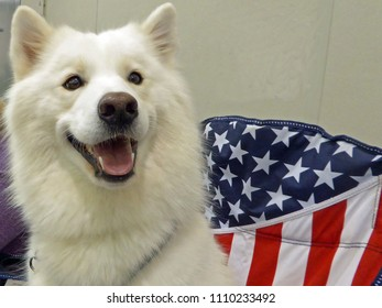 Portrait of a Samoyed Against an American Flag Fabric Background