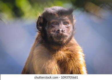 Portrait of Sapajus apella commonly known as Tufted capuchin or black capped capuchin