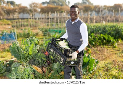 Portrait of satisfied African-American farmer with box of freshly harvested cauliflowers in his vegetable garden