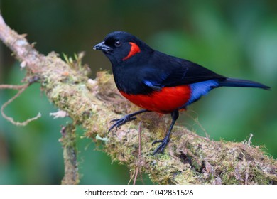 Portrait of Scarlet-bellied Mountain-Tanager (Anisognathus igniventris) perched on mossy branch