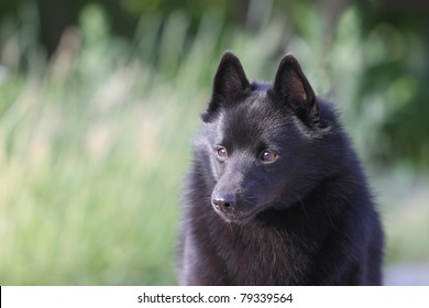portrait of the schipperke (little barge dog)