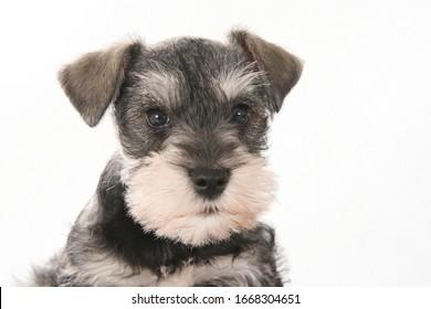 portrait of schnauzer puppy in studio