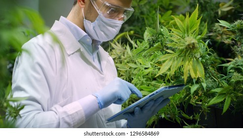Portrait of scientist with mask and glasses checking and analizing hemp plants, signing the results with laptop in a greenhouse. Concept of herbal alternative medicine,cbd oil, pharmaceutical industry