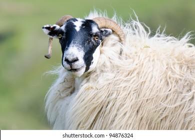 Portrait of a Scottish blackface sheep, Quirain, Isle of Skye, Scotland