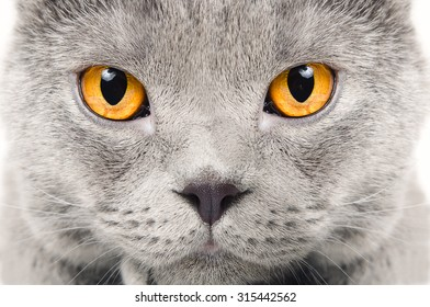 Portrait of a Scottish blue cat closeup