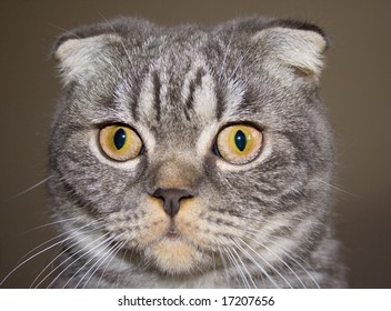 Portrait of the Scottish cat
