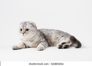 Portrait of scottish fold cat lying on light gray background
