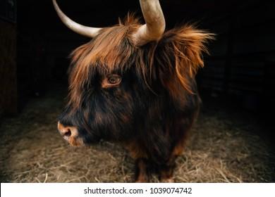 Portrait of a Scottish Highland Cow