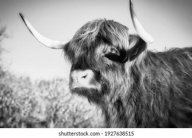 Portrait of a Scottish Highlander