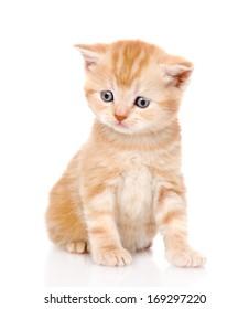 portrait scottish kitten. isolated on white background
