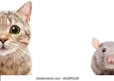 Portrait of a Scottish Straight cat and rat, half face, isolated on a white background