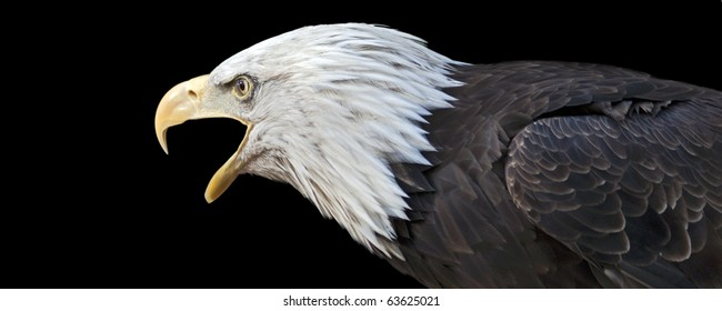 portrait of a screaming bald eagle