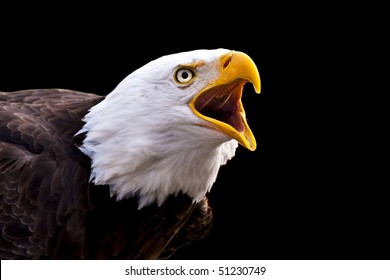 Portrait of a screaming Bald Eagle (Haliaeetus leucocephalus)