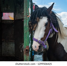 Portrait of a scruffy horse for sale at a horse fair in rural Ireland