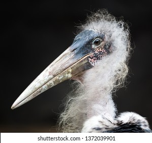 Portrait of the scruffy looking Marabou Stork from Africa