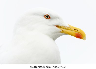 A portrait of a seagull.