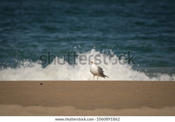 portrait of seagull isolated on a sandy beach, sea water background