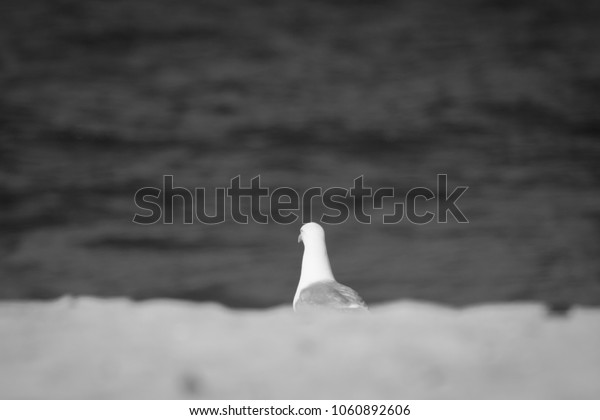 portrait of seagull isolated on a sandy beach, sea water background in black and white