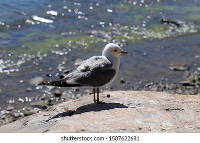 Portrait of a seagull on a rock by the Baltic Sea in Helsinki, Finland. In this photo you see orangish rock, the white and grey seagull and the sea with small waves in the background. Color image.