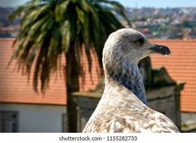 Portrait of a seagull in the Porto city, Portugal
