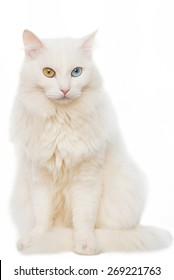Portrait of a seated cat with different colored eyes full height on white background