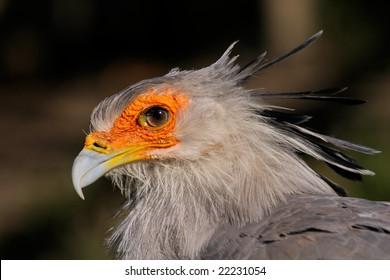 Portrait Of A Secretary Bird Sagittarius Serpentarius South Africa