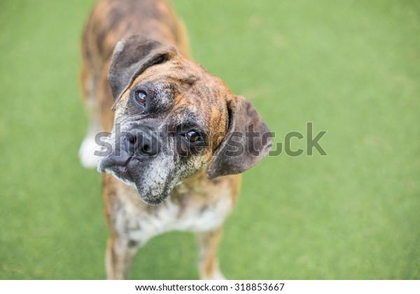 portrait of a senior boxer dog tilting head at the camera