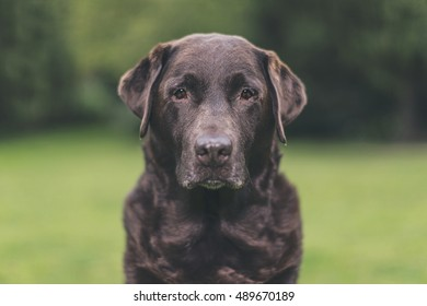 Portrait of Senior Chocolate Labrador in Garden