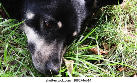 Portrait of senior dog face resting among green grass. Shepherd dog head with black nose and brown eyes