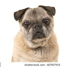 Portrait of a senior dog pug facing the camera on a white background