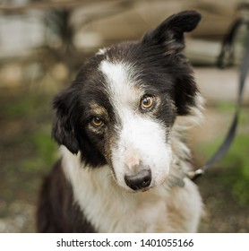 Portrait of a senior dog that was photographed for a border collie rescue