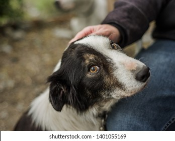 Portrait of a senior dog that was photographed for a border collie rescue being pet by his foster dad