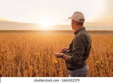 Portrait of senior farmer standing in soybean field examining crop at sunset.