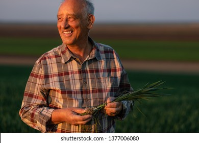 Portrait of senior farmer standing in young wheat field holding crop in his hands.
