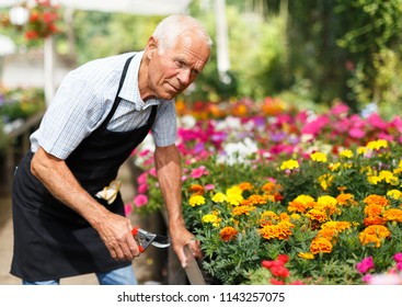 Portrait of senior man tending and cultivating flowers in glasshouse
