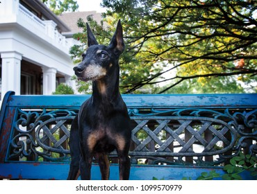 Portrait of a senior Miniature Pinscher