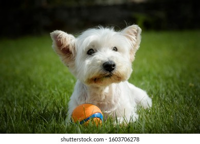 Portrait of a senior West Highland White Terrier lying on the grass with a ball