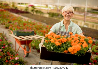 Portrait of senior woman holding the wooden box with few flowerpots and flowers