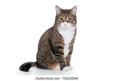 Portrait of a serious grey cat isolated on white background