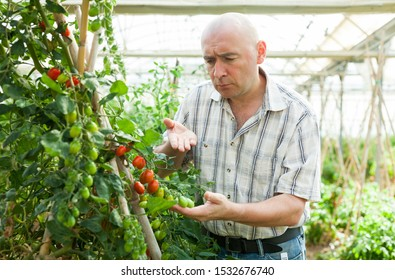 Portrait of serious man gardener standing near tomatoes seedlings  in  hothouse