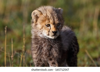 Portrait of a seven weeks old Cheetah cub in Masai Mara, Mother: Amani