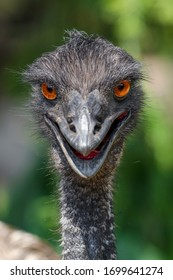 Portrait of a sharp gazed Emu