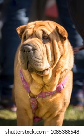 Portrait of Shar-pei dog, a breed originating from China known for its wrinkled skin