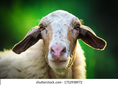 portrait of a sheep in a field